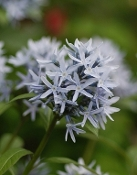 "Amsonia  - Eastern Blue Star (4"" pot)"
