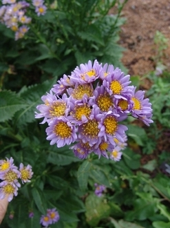 Aster – Smooth 'Bluebird' (quart pot)